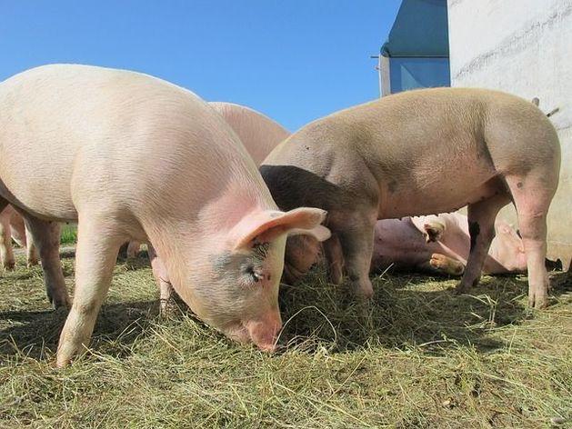 Челябинский агрохолдинг в ответ на санкции выведет свою породу свиней
