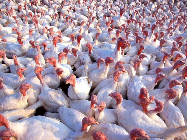 В Челябинской области решено производить мясо гусей и индейки