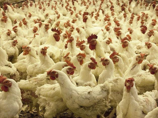 Московский инвестор будет перерабатывать отходы птицефабрик в Челябинской области