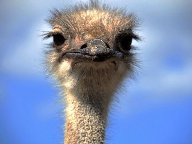 Смекалистым челябинцам продают страусиную ферму