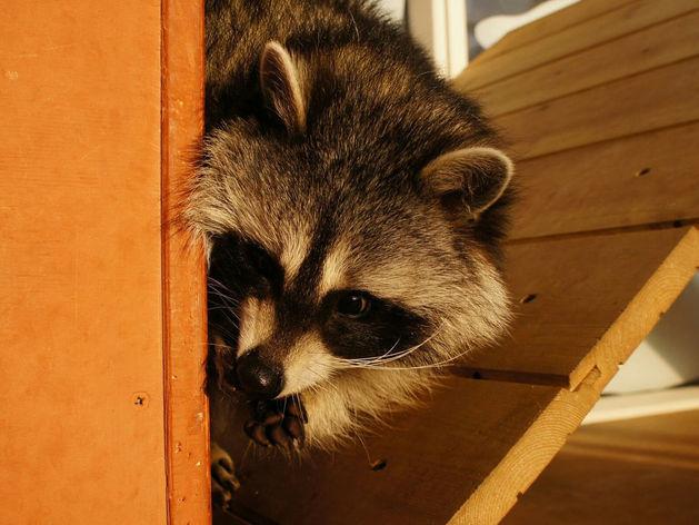 «Закроемся, животных раздадим». Контактные зоопарки Челябинска попали под запрет