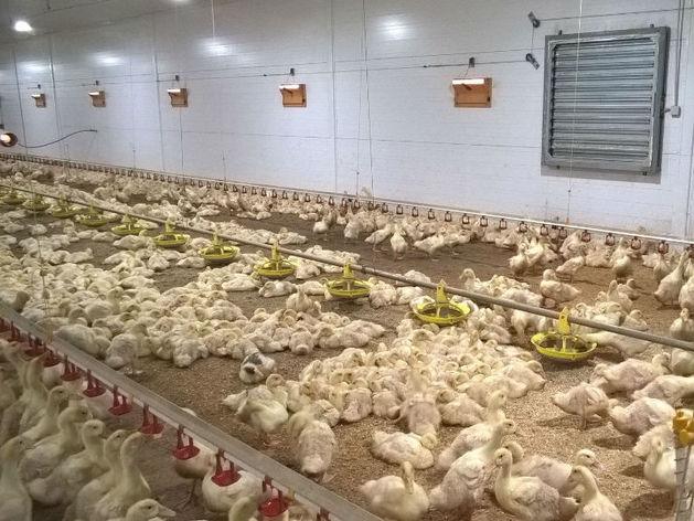 В Челябинске признали банкротом птицефабрику с долгом 1,3 млрд руб.