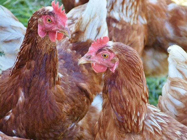 Птицефабрике «Равис» придется ответить за выбросы