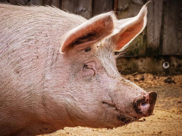 «Удар по чувствам верующих». ДНК свиньи опять обнаружили в южноуральском халяле