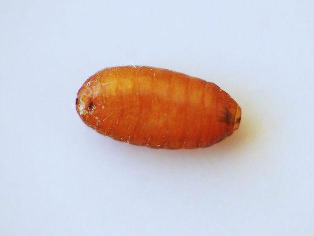 В торговые сети Челябинска проникла партия апельсинов с личинками экзотической мухи