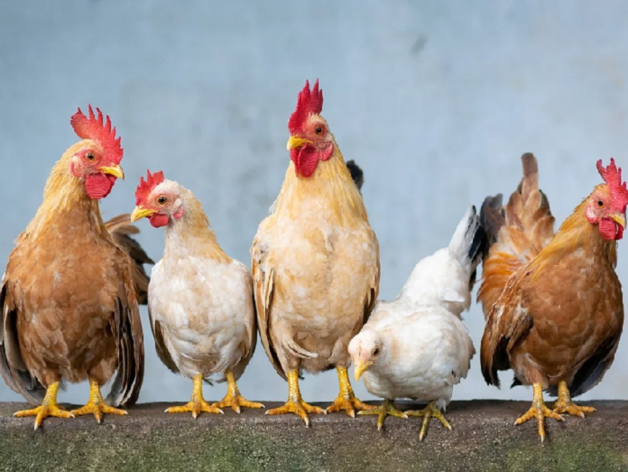 Меньше рубля за одну курицу: Косилов застраховал бизнес-риски на 422 млн руб.