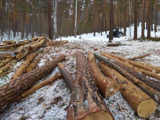 Жители сообщили о вырубках здоровых деревьев под видом больных в санатории Кисегач